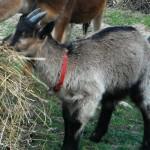 Musciu capra delle Alpi