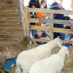 pecore fattoria didattica