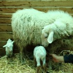 agnelli nati nella fattoria didattica